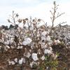 algodón orgánico, beneficios de las prendas elaboradas con materiales ecológicos