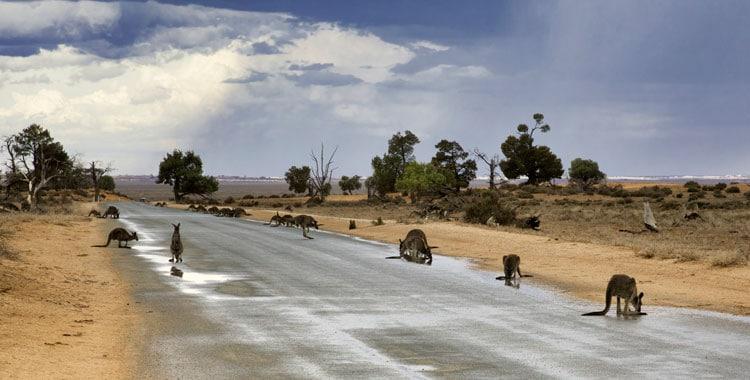 Canguros sedientos por la sequía de Australia